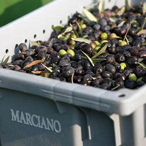 <span>Marciano Estate </span>Olive Oil