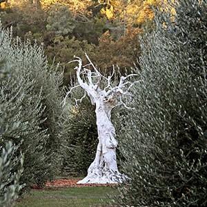 <span>Massiglia </span>Olive Oil